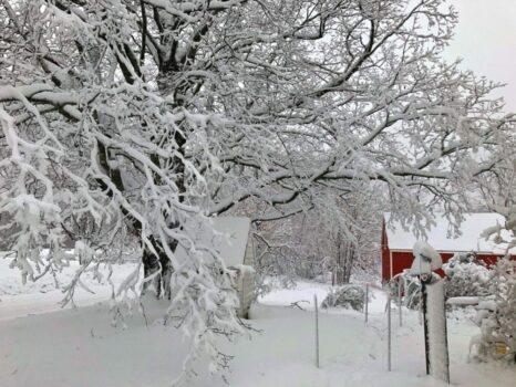 snowy tree and red barn