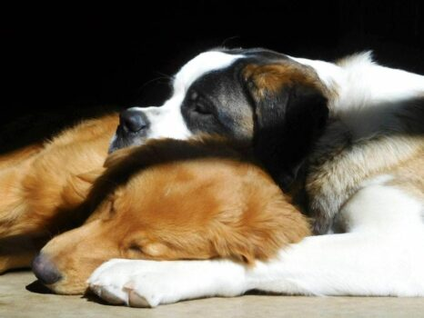 dogs sleeping together